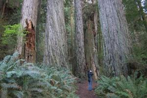 redwood-giants